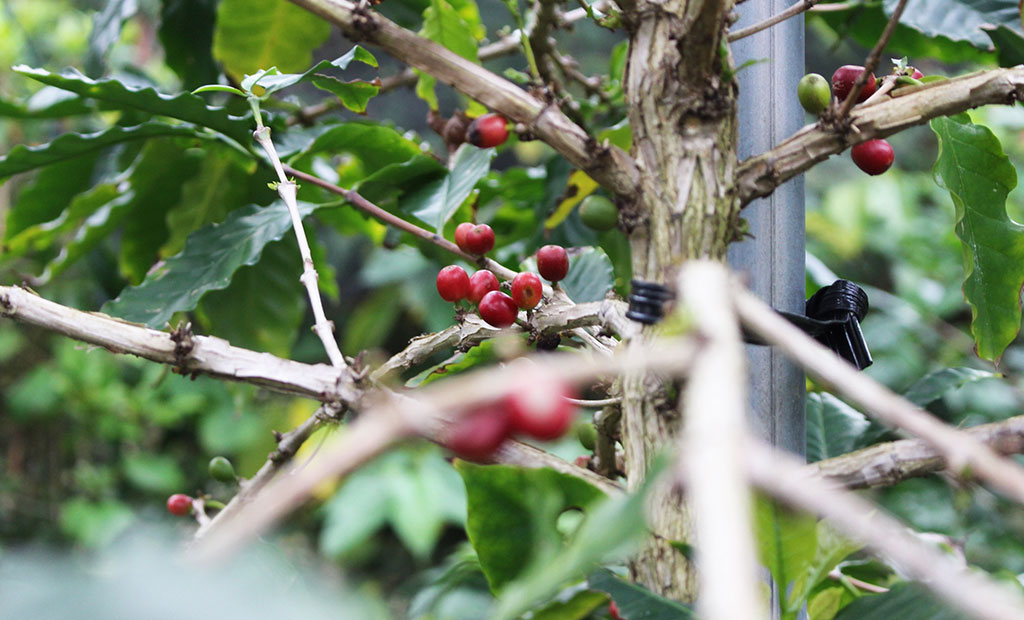 MATAYOSHI COFFEE FARM(又吉コーヒー園)1